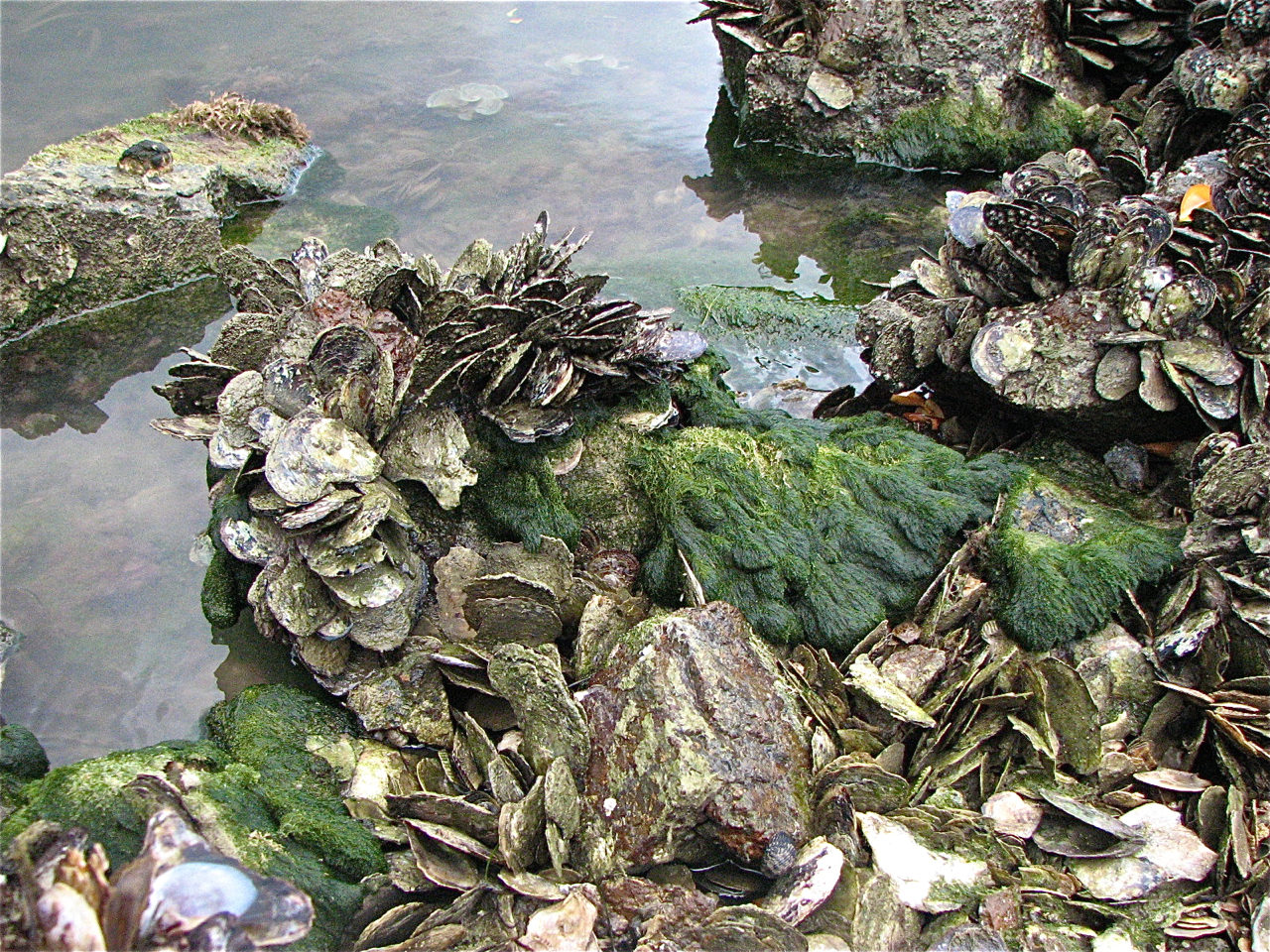 Attachment: Mangrove oysters at low tide.jpg